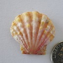 Sunrise Shell 057 800 ~ 85.00