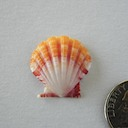 Sunrise Shell 059 305 ~ 75.00