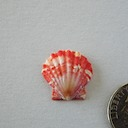Sunrise Shell 061 505 ~ 65.00