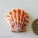 Sunrise Shell 305 035 ~ 135.00